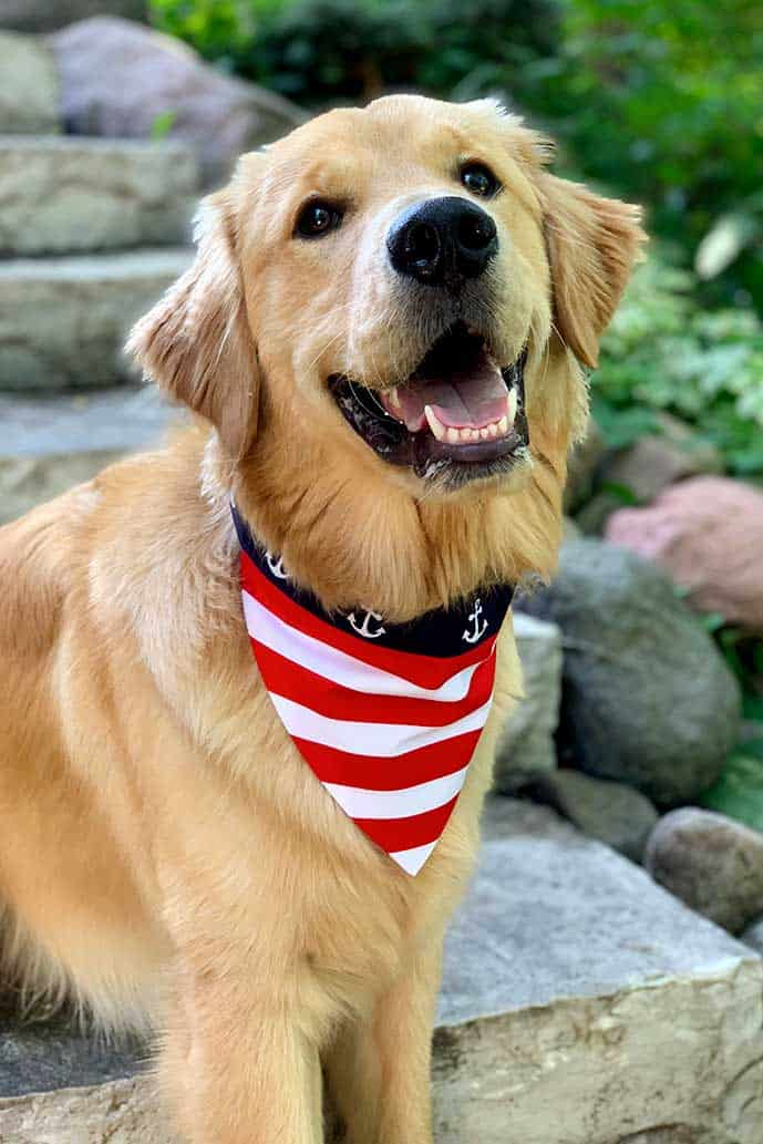 Sewing tutorial for this DIY dog bandana, shown on a golden retriever