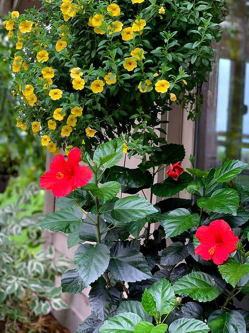 host a garden party - red clematis and yellow petunias
